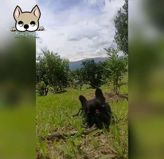 Bulldog frances super mini perros y amigos colombia